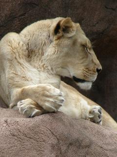 Lioness, lion