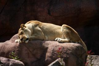 Lioness  animal  wild