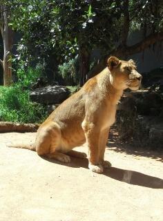 Lioness, cat