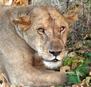 Lioness, life