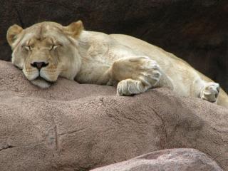 Lioness, sleep