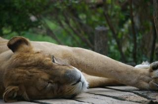 Lioness, yellow