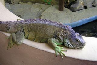 Lizard, animal