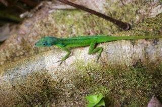 Lizard, forest