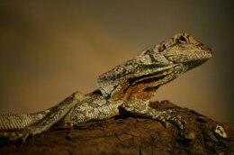 Lizard, multicolor