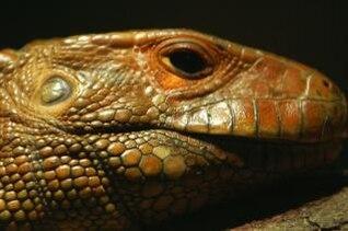 Lizard, reptile