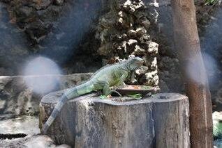 Lizard at Surabaya Zoo, tail