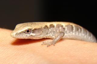 Lizard On Hand