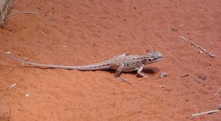 Lizard on red sand