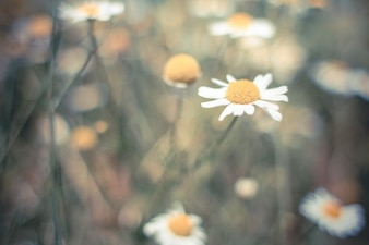 Lonely daisy in the field