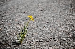 lonely flower  asphalt