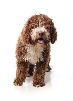 Длинношерстные коричневая собака сидит