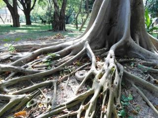 long tropical tree roots