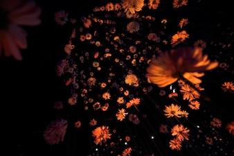 暗い部屋の糸にぶら下がっている美しい菊で、下から見てください
