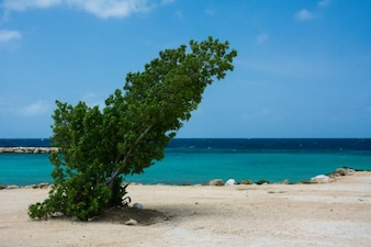 Lopsided tree on the beach