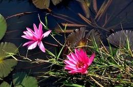 Lotus , pink