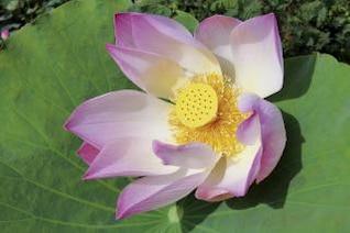 Lotus 1, pink