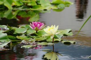 Lotus flowers, pink