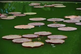 Lotus pond, green
