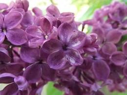 lucky lilac