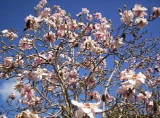 Magnolia lehuge
