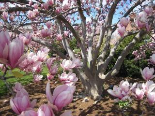 Magnolia Tree, Magnolia