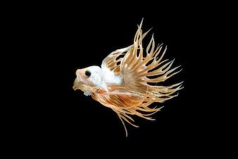 Male crown tail Betta fish