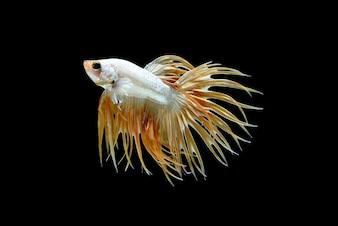 男性の王冠の尾Betta splendensまたはsiamese戦う魚