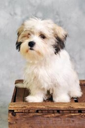 maltese dog sitting on wooden box