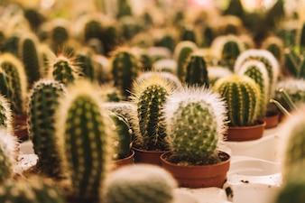 Many small cactus