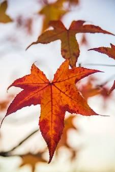 Maple leaf back light. pastel fole of Japanese maple tree leaves colorful background in autumn