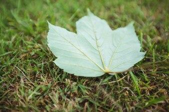 Maple leaf fallen on green grass