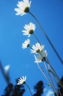 Marguerite Meadow
