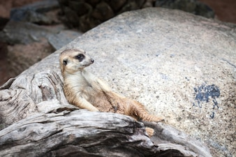 Мееркат найден в открытом зоопарке Кхао Хеоу, Таиланд