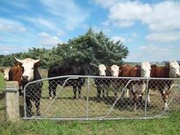 Mixed cattle Herefords and others at Wes