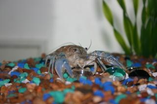 montana crayfish