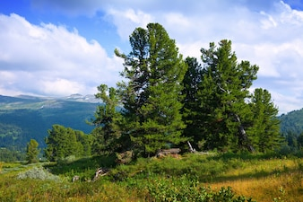 Mountains with cedar forest