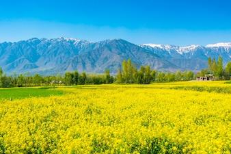 Горчичное поле с красивым заснеженным горами ландшафт Кашмир, Индия