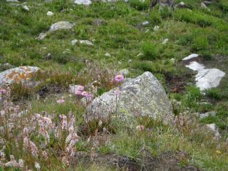 Nanga parbat, flowers