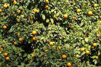 Natural background with green leaves and oranges