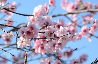 Nature flowers garden flower spring blossom peach