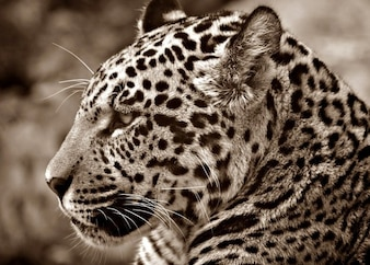 cat profile halbwchsig sepia jaguar head
