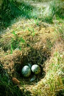 Nest with eggs, green