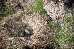 Nest with eggs, nest