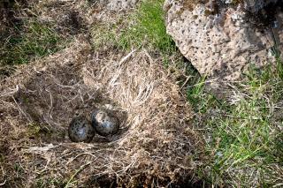 Nest with eggs, nest