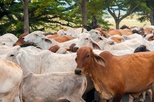 nicaraguan cattle