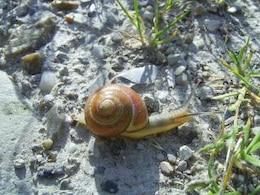 Norwegian snail