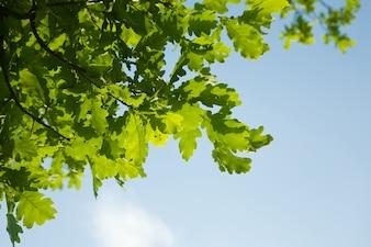 Oak leaves, brightly backlit against  sky
