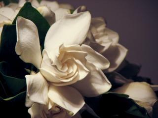 Open Jasmine, bride
