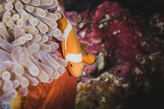 Оранжевый клоун, прячущийся во своем анемоне